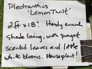 Plectranthus 'Lemon Twist' (1 qt) | Lemon Twist Swedish Ivy (1 qt)