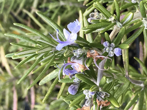 Rosmarinus officinalis 'Huntington Carpet' | Huntington Carpet Rosemary