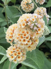 Load image into Gallery viewer, Buddleia 'Hocus Pocus' (1 qt) | Hocus Pocus Butterfly Bush (1 qt)