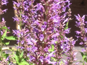 Agastache 'Purple Haze' (1 qt) | Purple Haze Hyssop (1 qt)