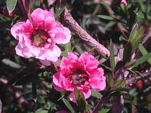Leptospermum scoparium 'Martini' | Martini Tea Tree