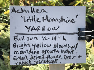 Achillea 'Little Moonshine' (1 qt) | Little Moonshine Yarrow (1 qt)