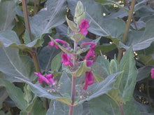 Load image into Gallery viewer, Lepechinia hastata (1 qt) | Pitcher Sage (1 qt)