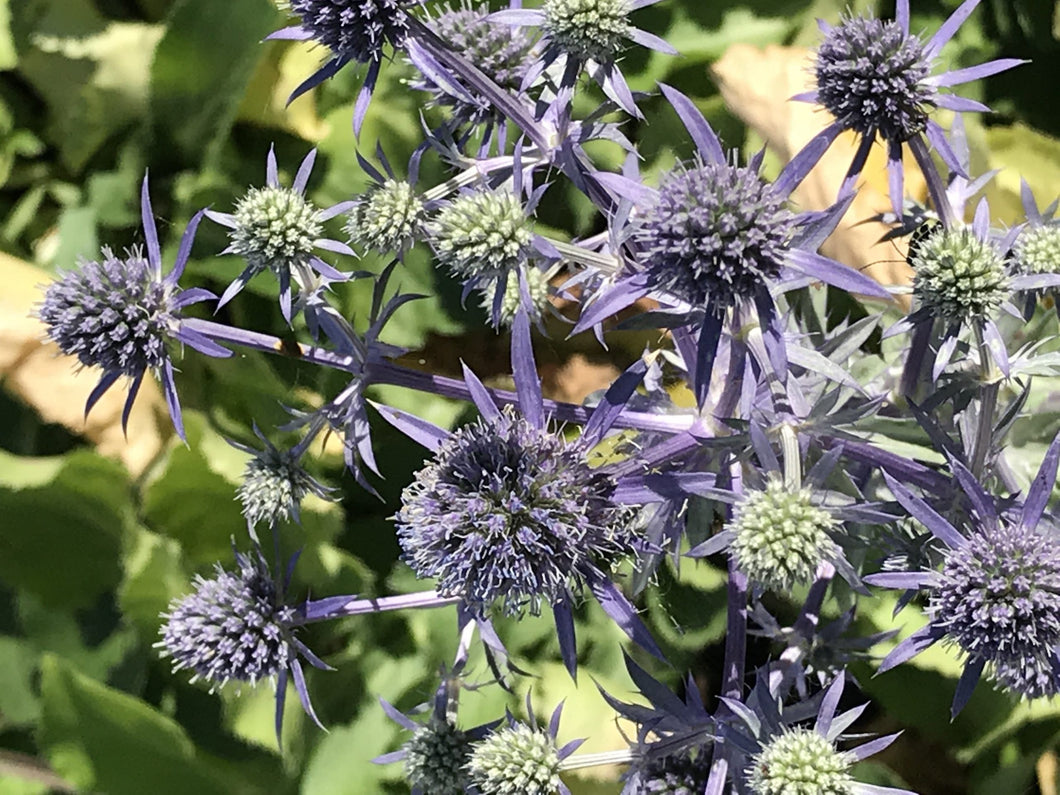 Eryngium planum 'Blue Hobbit' (1 qt) | Blue Hobbit Dwarf Sea Holly (1 qt)