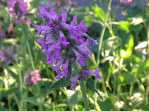 Stachys officinalis | Betony