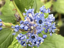 Load image into Gallery viewer, Ceanothus 'Ray Hartman' (1 qt) | Ray Hartman Wild Lilac (1 qt)