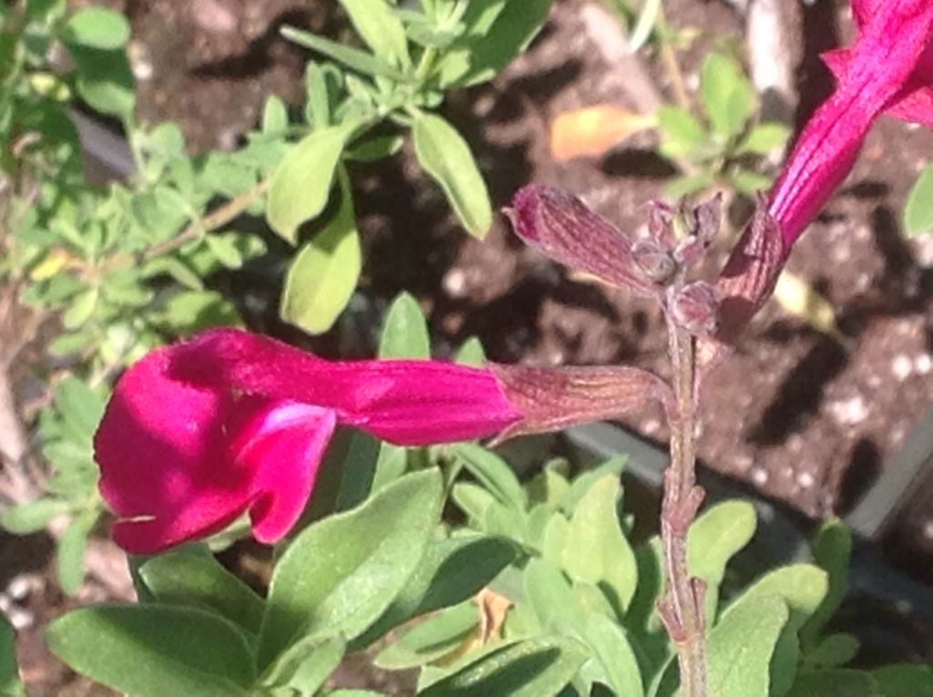 Salvia greggii 'Dark Dancer' | Dark Dancer Autumn Sage