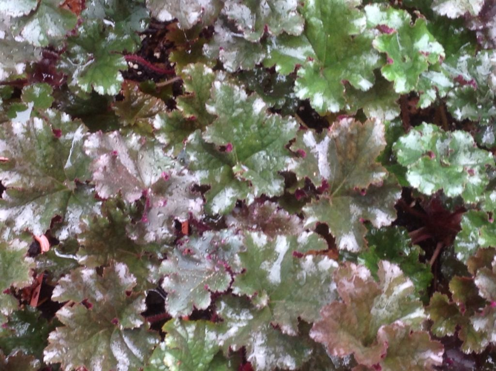 Heuchera 'Dark Secret' (1 qt) | Dark Secret Coral Bells (1 qt)