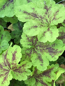 Heucherella 'Solar Power' (1 qt) | Solar Power Foamy Bells (1 qt)