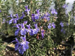 Rosmarinus officinalis 'Blue Lagoon' | Blue Lagoon Rosemary