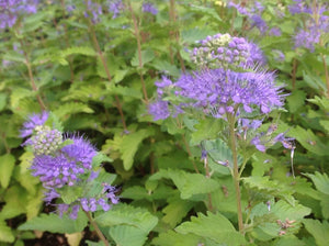 Caryopteris spirea 'Good As Gold' (1 qt) | Golden Bluebeard (1 qt)