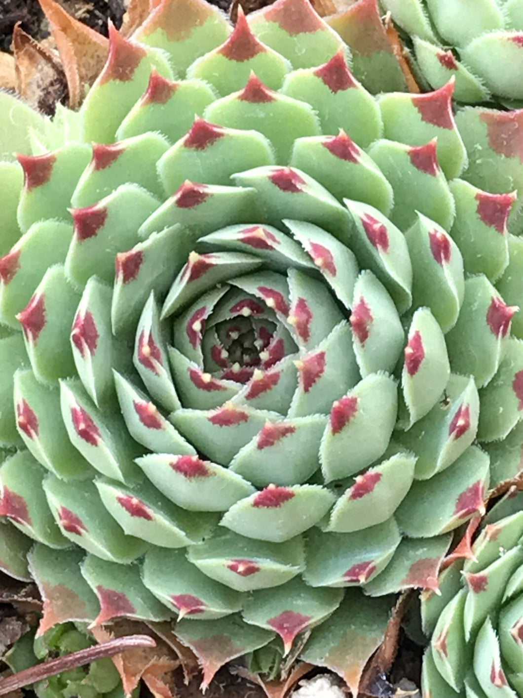 Sempervivum 'Sir William Lawrence' | Chick Charms Mint Marvel Hens & Chicks