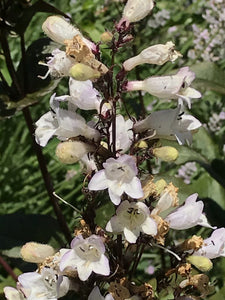 Penstemon 'Dark Towers' (1 qt) | Dark Towers Hybrid Beardtongue (1 qt)