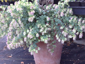 Origanum rotundifolium 'Kent Beauty' (1 qt) | Kent Beauty Oregano (1 qt)