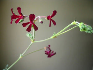Pelargonium sidoides | South African Geranium