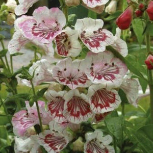 Penstemon 'Strawberries & Cream' (1 qt) | Strawberries & Cream Beardtongue (1 qt)