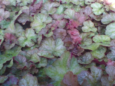 Pinot Gris Coral Bells