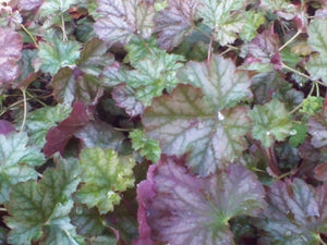 Harvest Burgundy Coral Bells