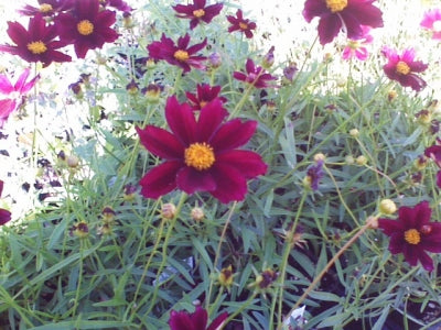 Coreopsis Big Bang 'Mercury Rising' (1 qt) | Mercury Rising Tickseed (1 qt)