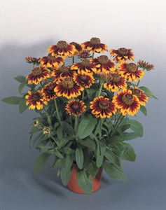 Rudbeckia hirta 'Rustic Colors' | Rustic Colors Black Eyed Susan