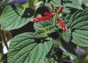 Salvia elegans 'Honeymelon' (1 qt) | Dwarf Pineapple Sage (1 qt)