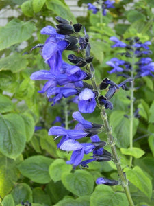 Salvia guaranitica 'Omaha Gold' (1 qt) | Omaha Gold Anise Scented Sage (1 qt)