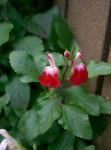 Salvia microphylla 'Hot Lips' (1 qt) | Hot Lips Sage (1 qt)