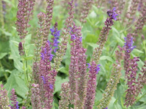Salvia nemorosa 'May Night' (1 qt) | May Night Meadow Sage (1 qt)