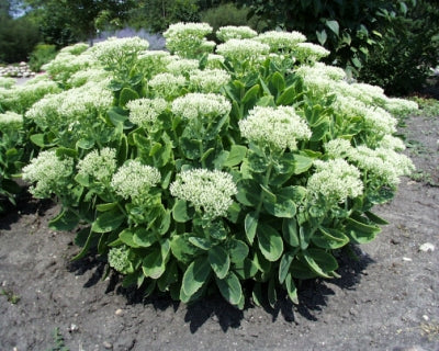 Sedum spectabile (1 qt) | Autumn Joy Sedum (1 qt)