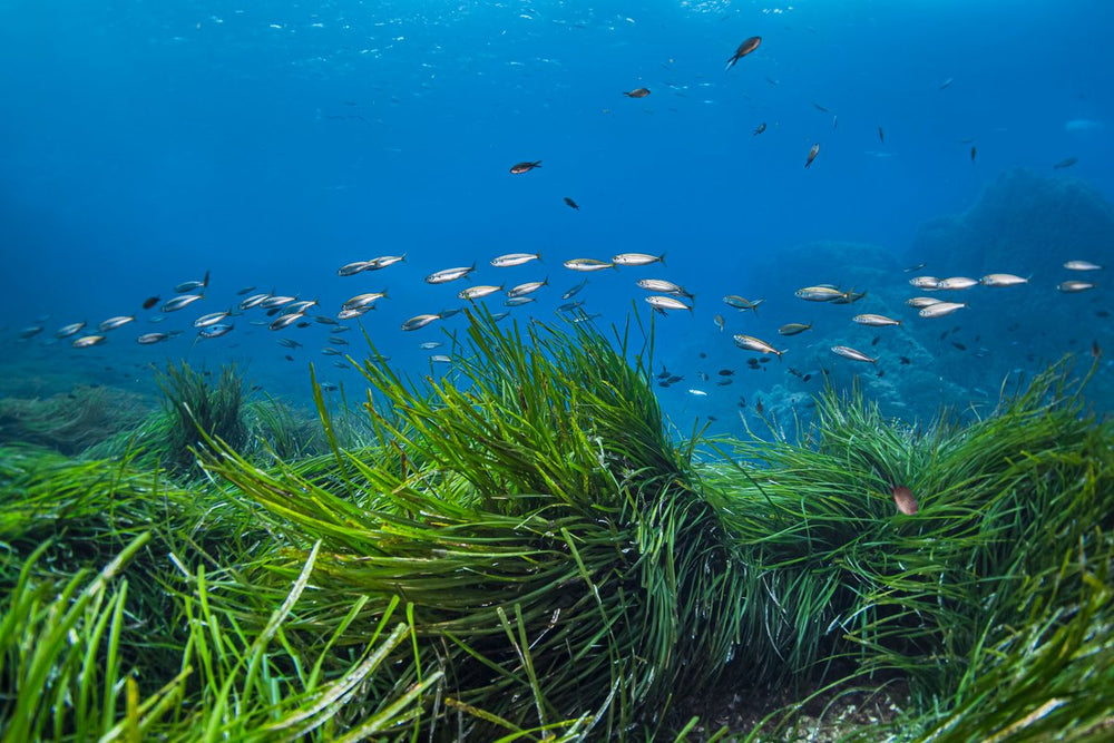OFFSETTING OUR CARBON EMISSIONS BY PLANTING SEAGRASS
