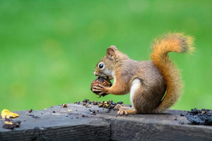 squirrel chewing on acorn on deck