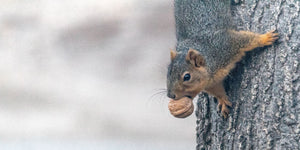 squirrel climbing tree with acorn in mouth