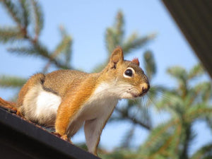 How Critter Guard Can Protect Your Home from Mischievous Squirrels