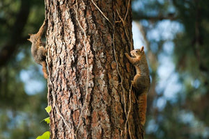 squirrels climbing unprotected tree to access roof of home