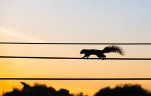 squirrel running across power line in Missouri