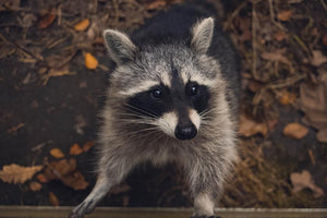 Protect Your Home and Power from Raccoons with Critter Guard