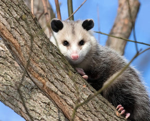 possum in tree