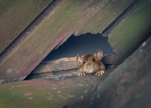 roof rat in attic after chewing through roof