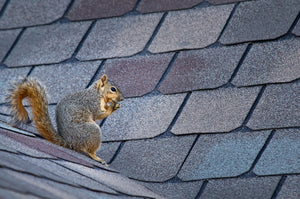 squirrel sitting on house roof