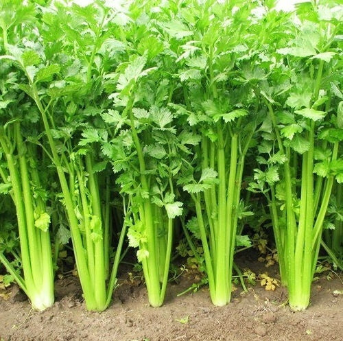 300 Celery Seeds Garden Green Organic Vegetables Seeds
