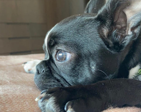 Ruperto of Ruperto Franklin - Boston Terrier face side view