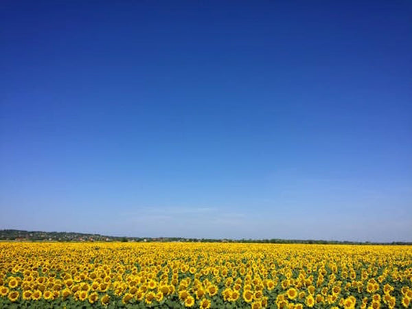 a field of sunflowers and blue sky