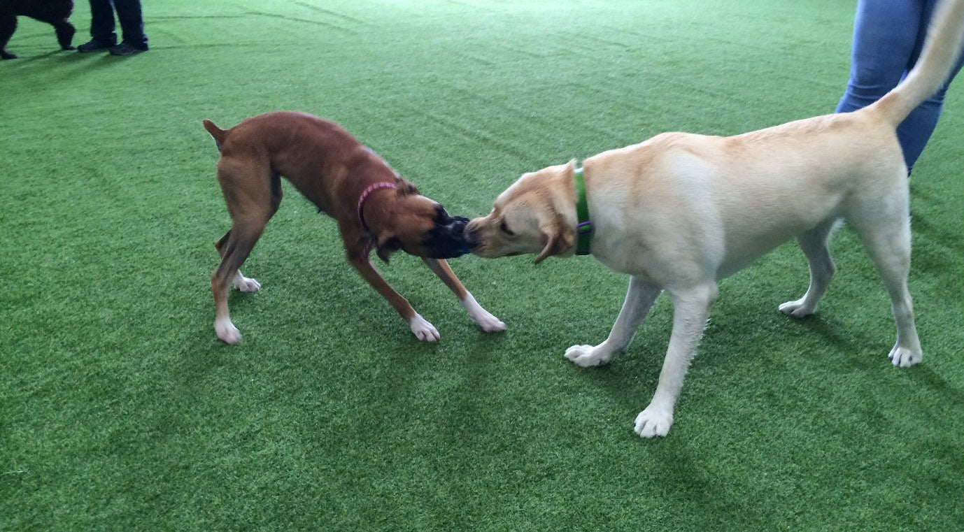 Understanding Dog Play