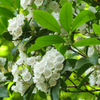 Organic Laurel Essential Oil