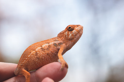 Holdbacks/Individuals - Ambilobe offspring from Darony-anjiana (AKA Fresh Prince) x Doro (AKA Fire Starter) - Hatched Sep/October 2020 - Female #2