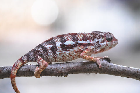 "Sambava Male from ""Doran Martell"" x ""Anfalas"" - Hatched August 2019 - #1"