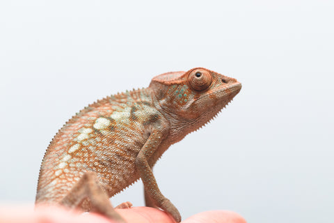 "Holdbacks/Individuals - Nosy Be offspring from ""Pepper"" x ""Celebrian"" - Hatched August 2020 - Female #2"