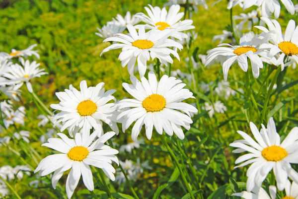 Significance of Daisy Flowers