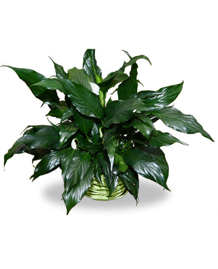 EF703 - Peace Lily - Euro Flowers Mississauga ON
