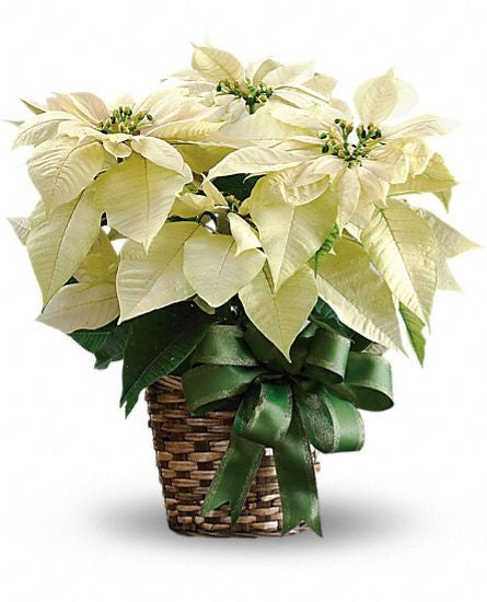 EFX136 White Poinsettia - Euro Flowers Mississauga ON